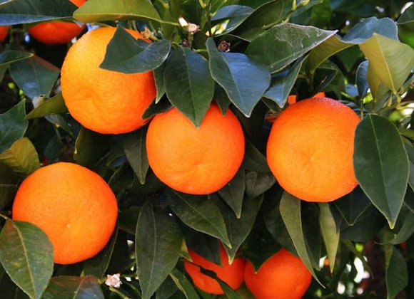 Hoja de Naranjo