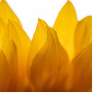 Sunflower Cassondra Johnson NFS