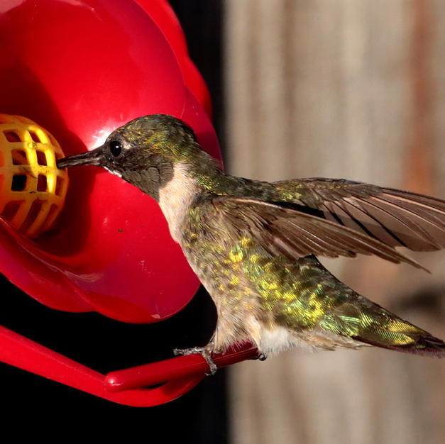 Hummingbird Bruce Garner $30