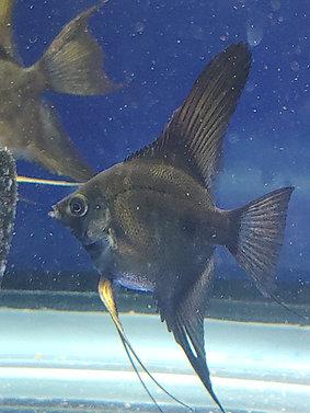 "February Bundle - 4 Black Angelfish + 1 Albino BN Pleco (1/2-1"")"