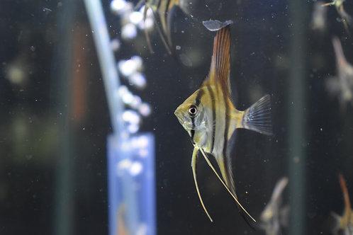 Dantum Angelfish