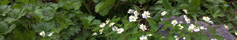 banner-anemone.jpg