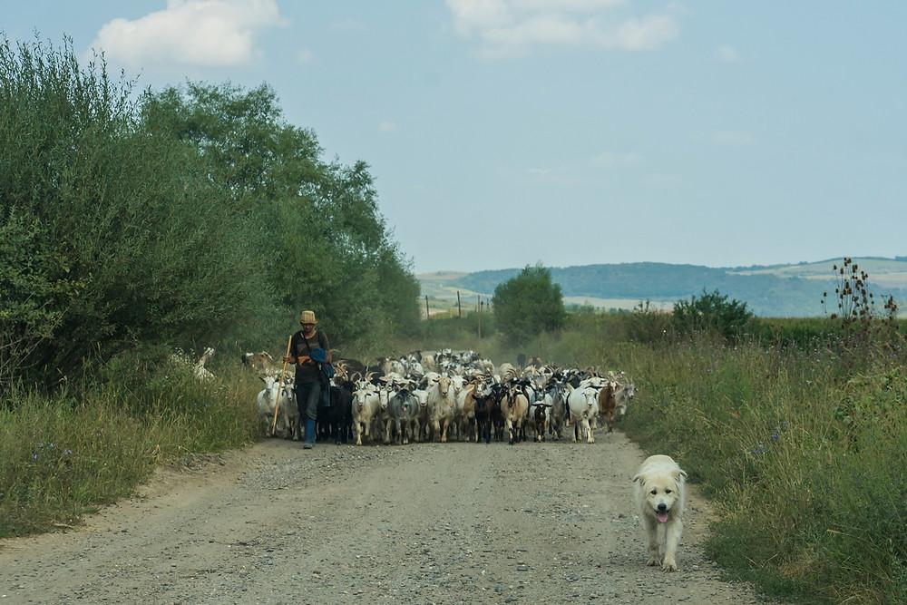 goats-herd-shepherd-and-sheep-dog-in-Transylvania