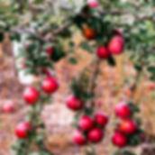 Apples_edited.jpg