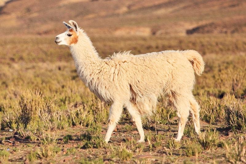 Chaussettes Mazarin disponibles en laine, fil d'écosse, en cachemire, en soie.