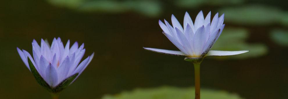 En lotusblomst.