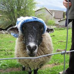 FB shivering sheep 11165201_830104473710