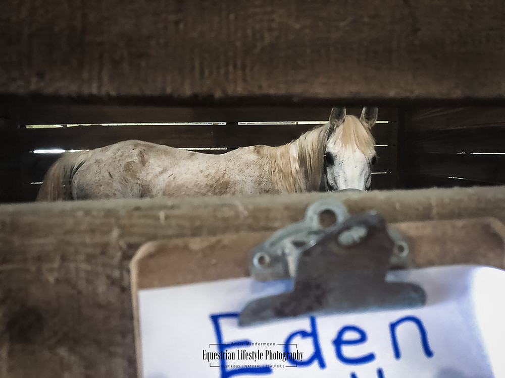 Rescue Horse Eden in stall, waiting for her new handler