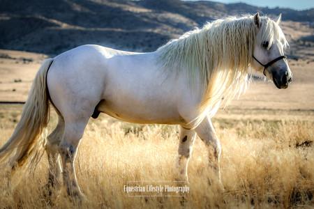 Highland Stallion Ch. Circle H Glen Livit