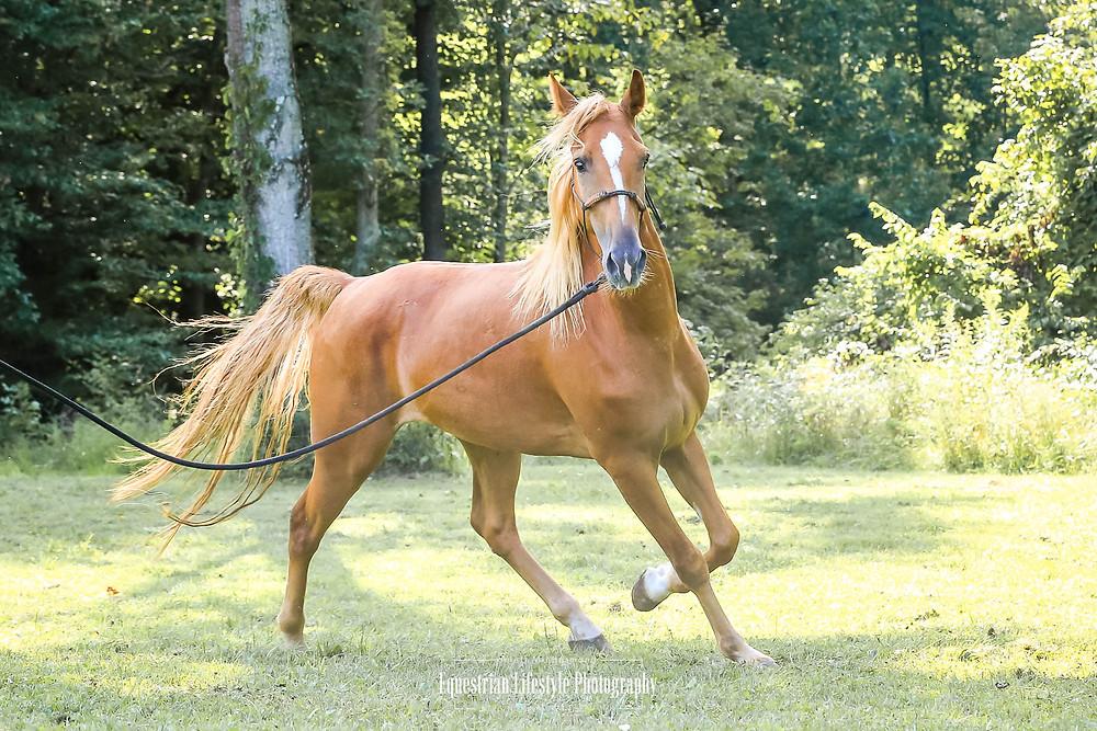 Kentucky Mountain Horse trotting