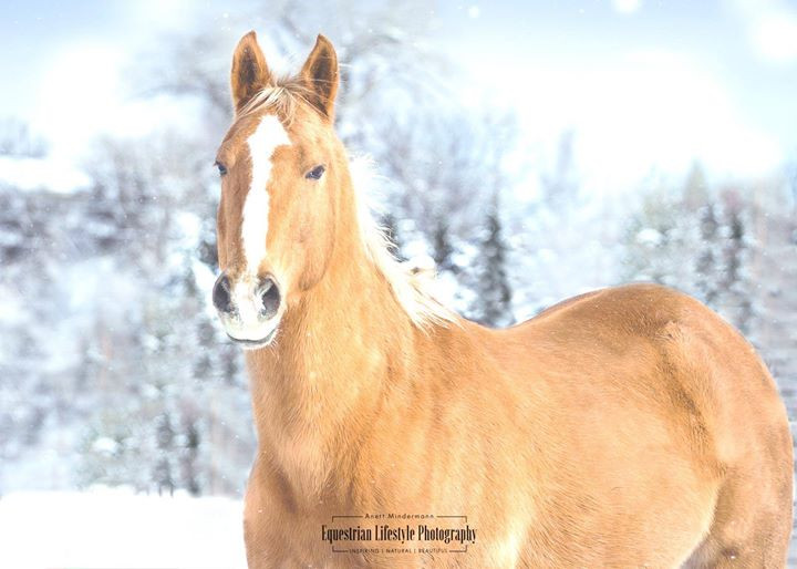 Winter Shot of a Palomino Quarter Horse