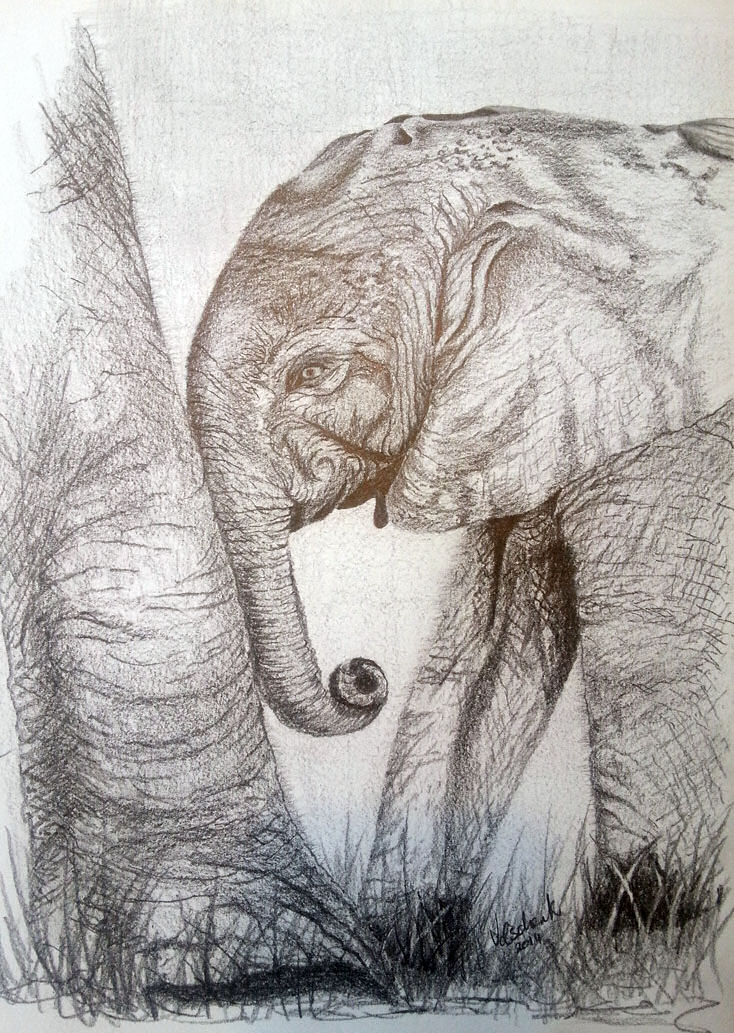 Baby elephant in pencil
