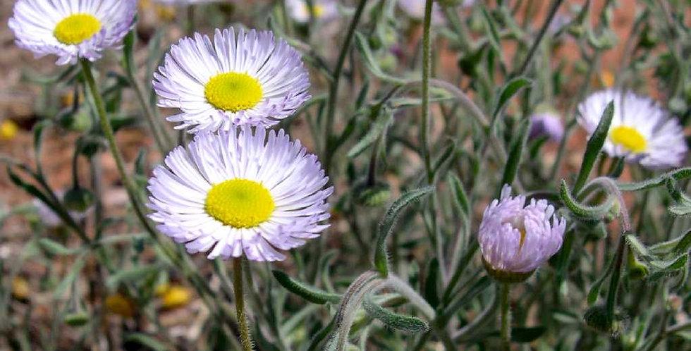 Fleabane Daisy Seed,  Erigeron spp