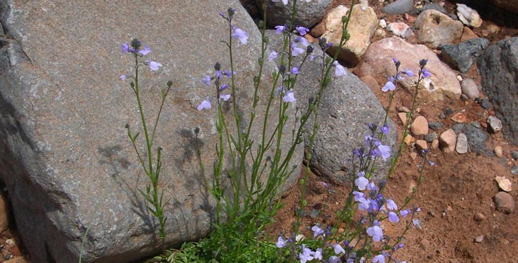 Texas Toadflax Seed,  Nuttallanthus texanus