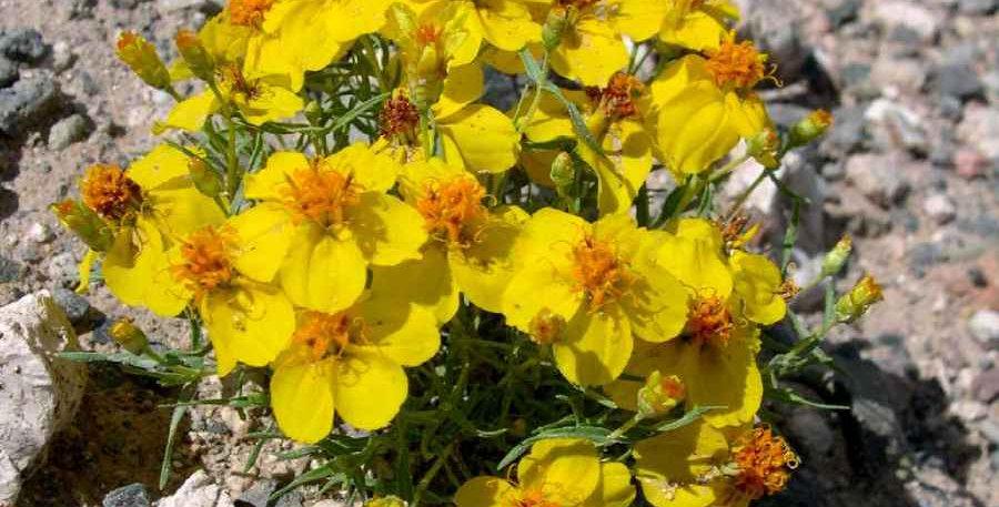 Rocky Mountain Zinnia, Zinnia grandiflora