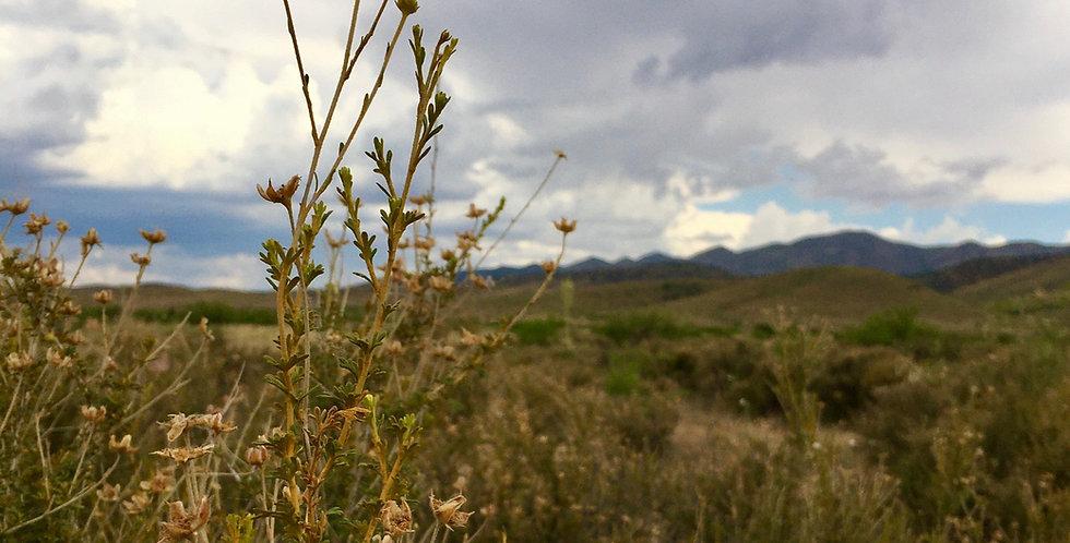Apache Plume Seed, Fallugia paradoxa