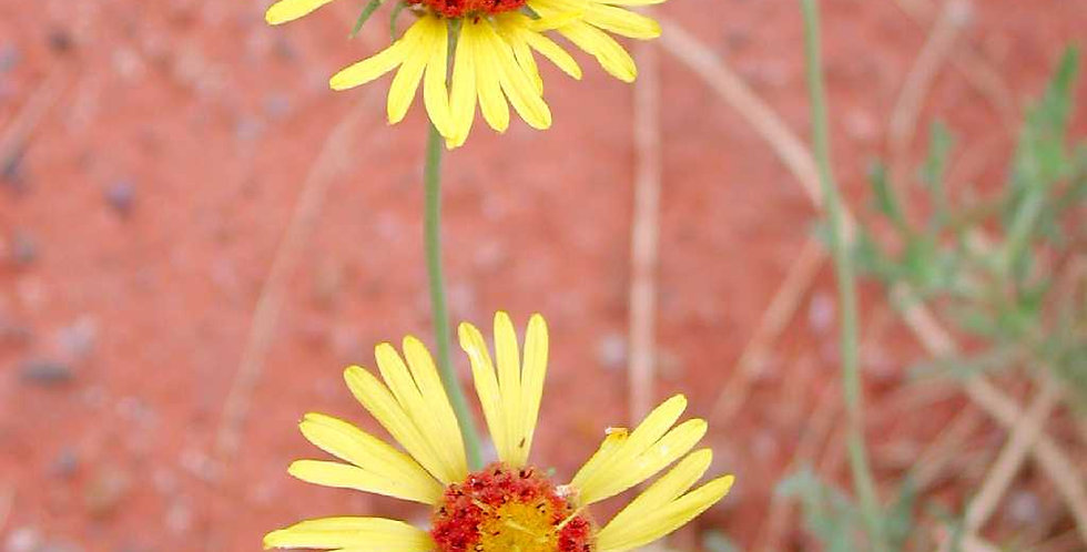 Red Dome Blanketflower Seed, Gaillardia Pinnatifida