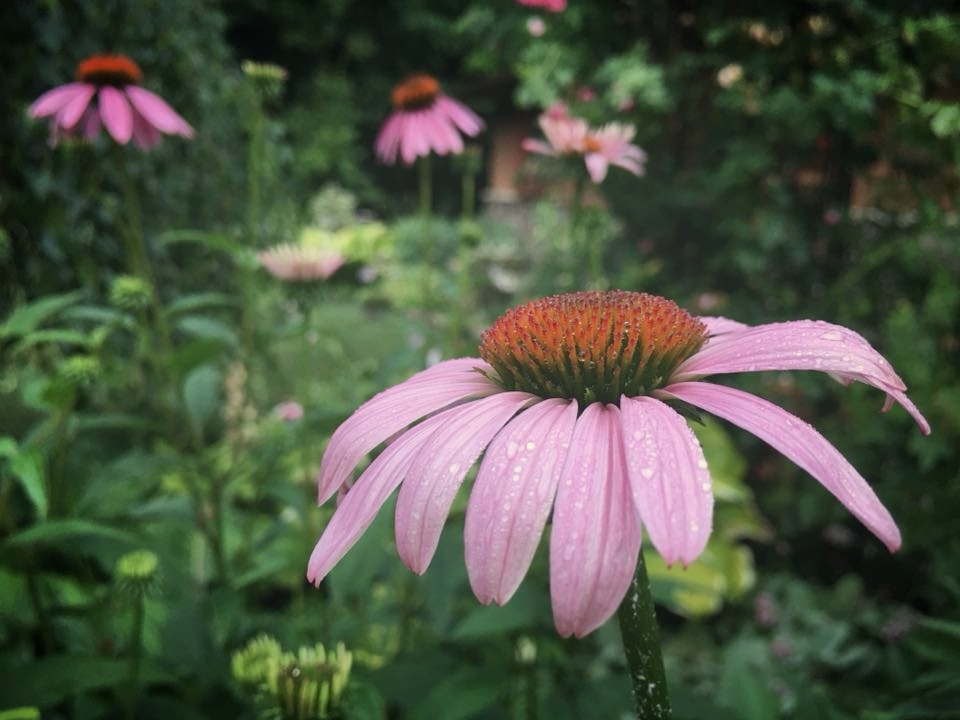 Purple Cone Flower Echinacea