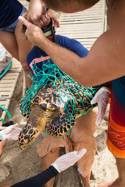 Acquiring a weight in a hawksbill sea turtle.