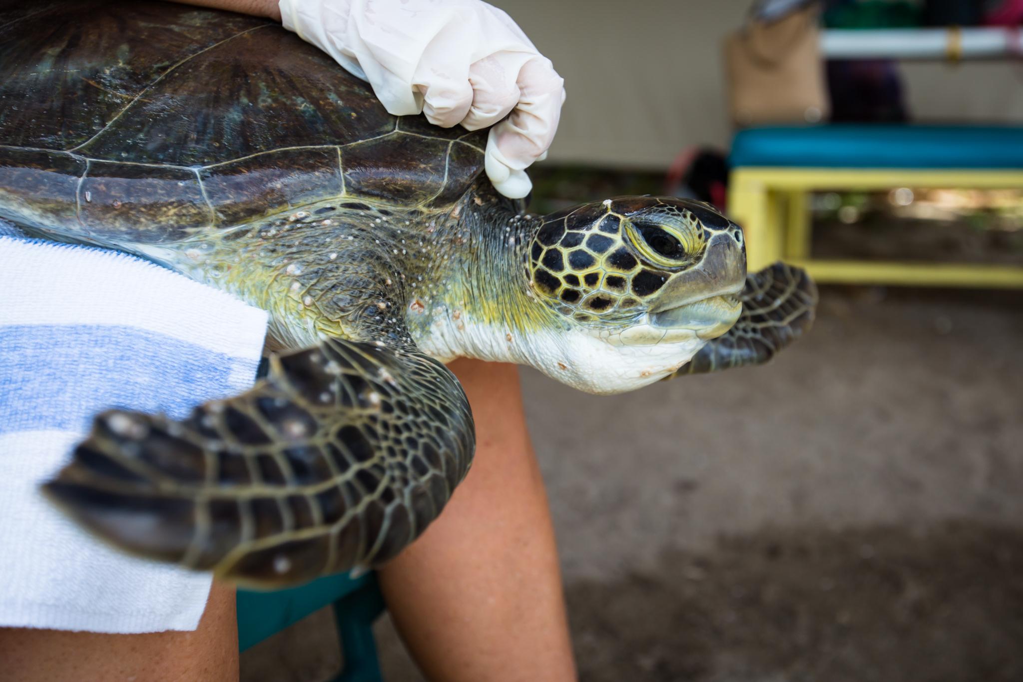 Epibiota on a green sea turtle.