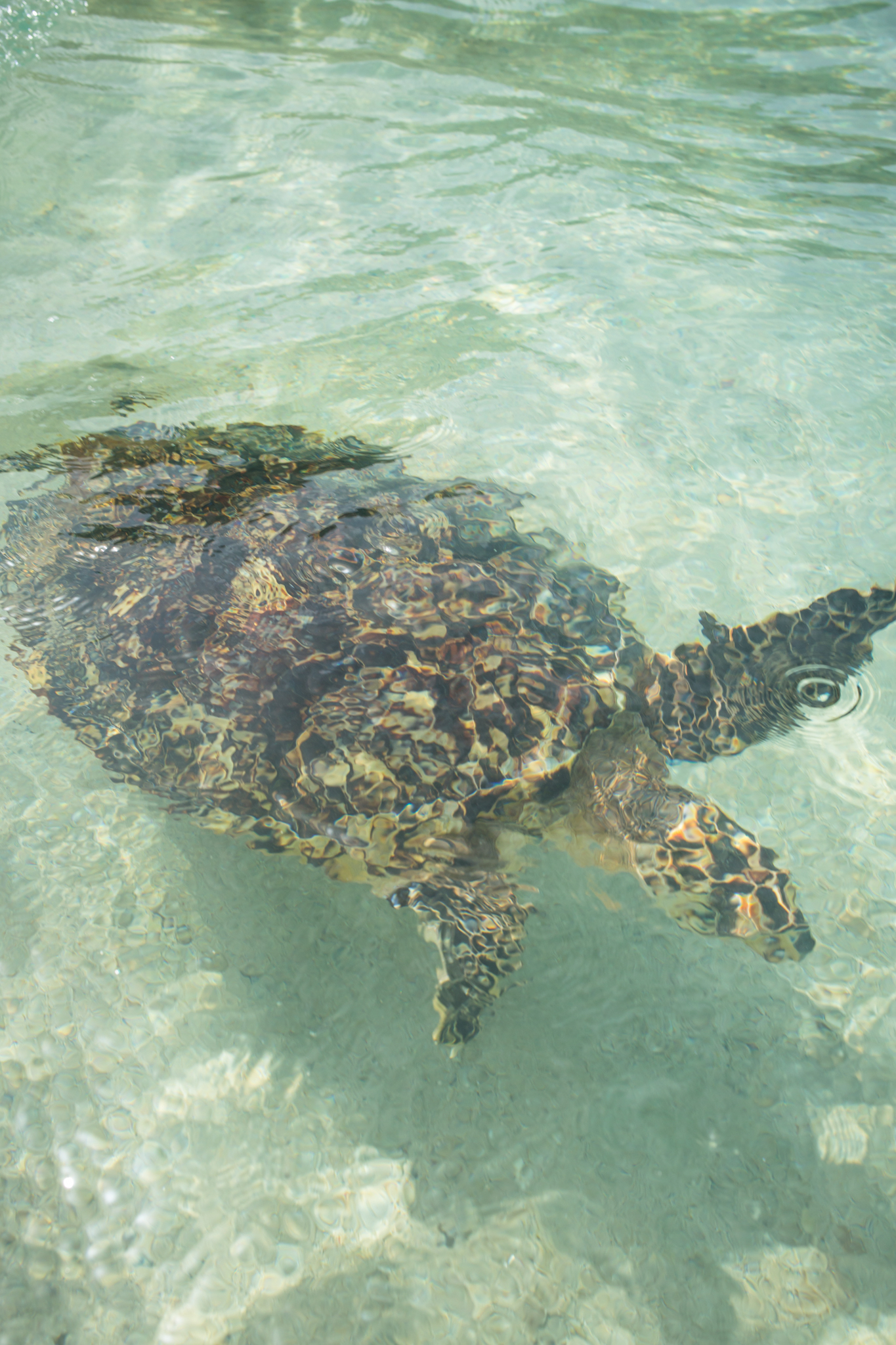 Hawksbill release following an exam.