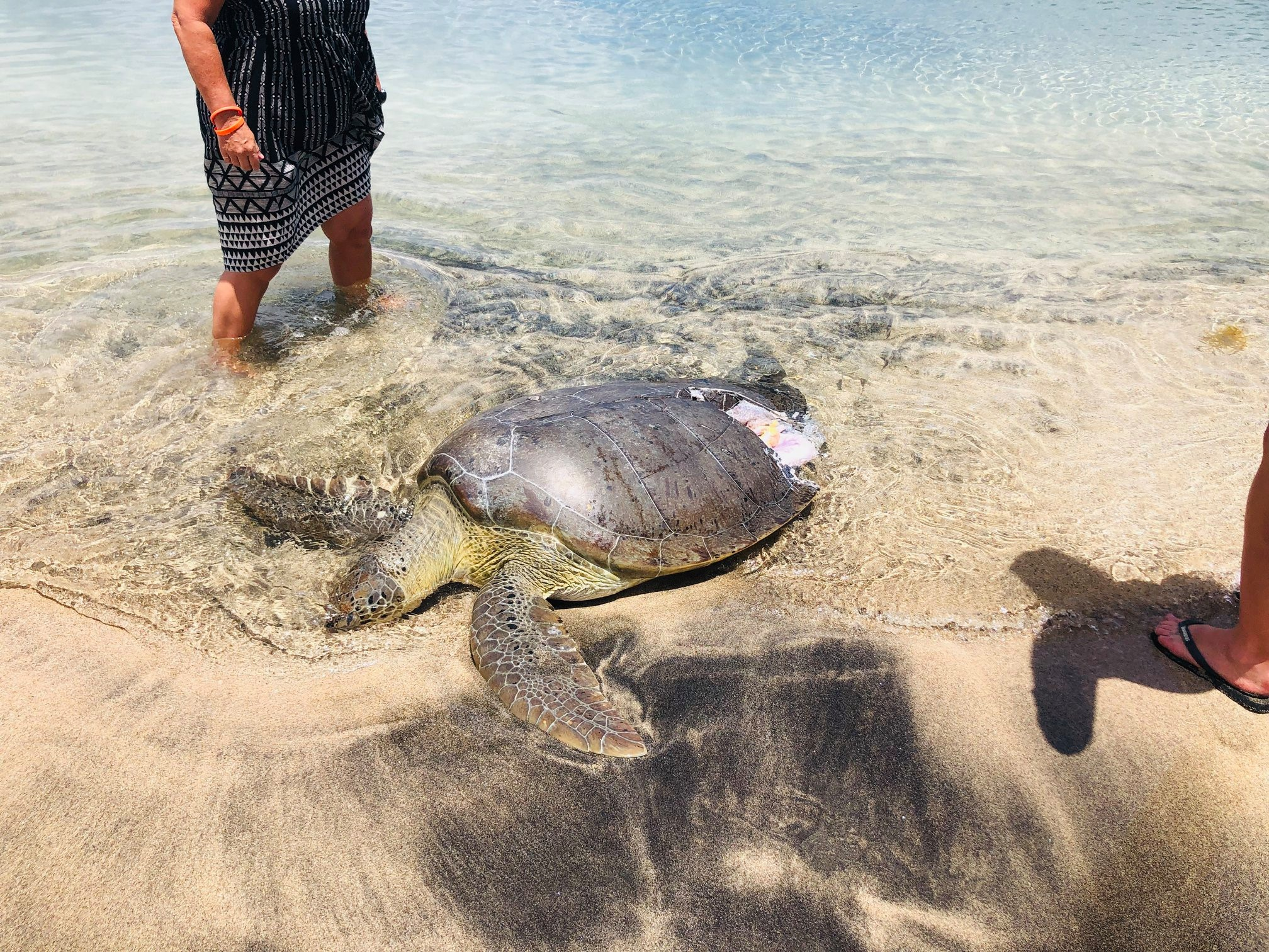 Green sea turtle hit by a water taxi