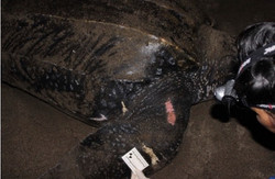 Documenting lesions in a leatherback