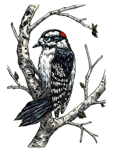 Downy Woodpecker: Original Painting