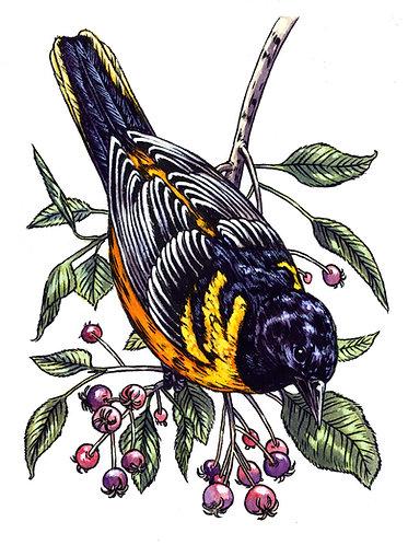 Baltimore Oriole: Original Painting