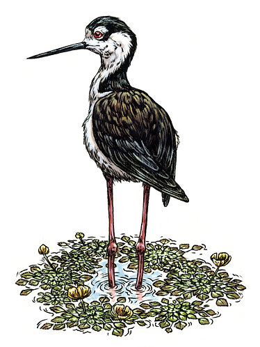Black-Necked Stilt: Original Painting