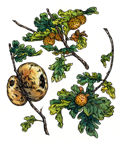 Autumn Oak Galls: Original Painting