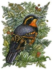 Varied Thrush (BirdNote Cover)