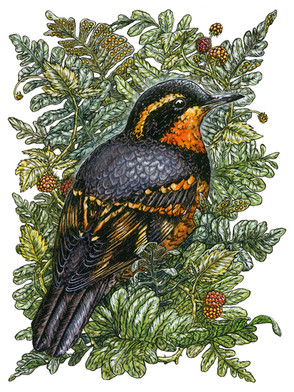 Varied Thrush (BirdNote Cover)