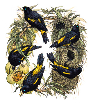 Yellow-Rumped Caciques