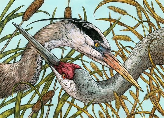 Great Blue Heron & Sandhill Crane