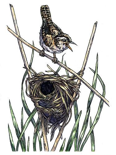 Marsh Wren: Original Painting