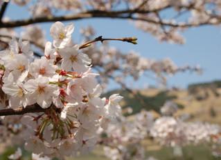 今年も変わらない美しい春が満開です🌸🌸🌸