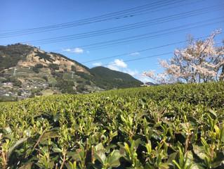 我が故郷はいまが花盛り🌸🌸🌸里山も町なかも春満開(^^♪
