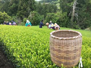 「お茶の掛川」いよいよ始まりました!!🍵