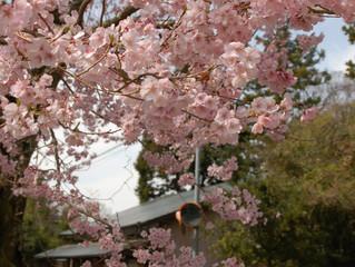 粟ヶ岳山麓の里山に今年も美しい春がやってきました(^^♪🌸