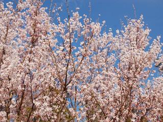 """「春の""""茶畑"""" ひねもすのたり、のたりかな」"""