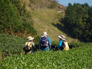 茶畑を縫って山登り。一山で2度、3度美味しい粟ヶ岳かな