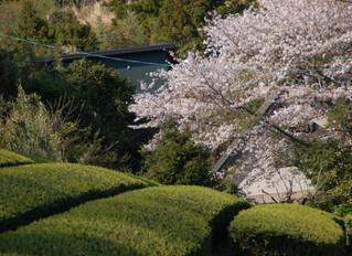 今日も春満開!粟ヶ岳山麓の里山の春をグルっと廻ってきました🌸🌸🌸