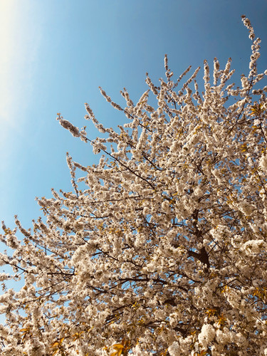 Blosson Tree.