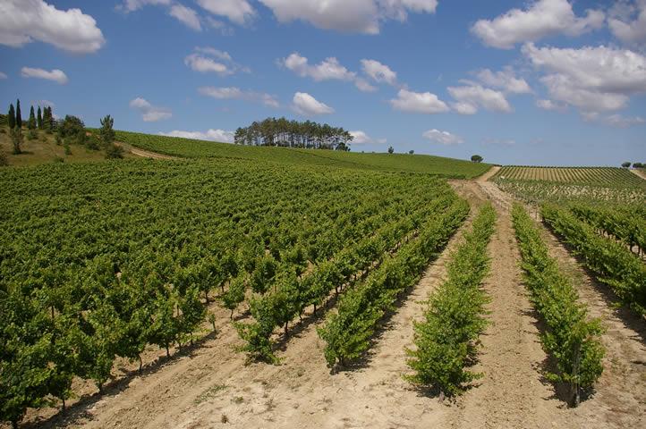 Vineyard of Bairrada