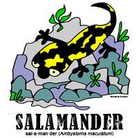 salamanderbylorenzo