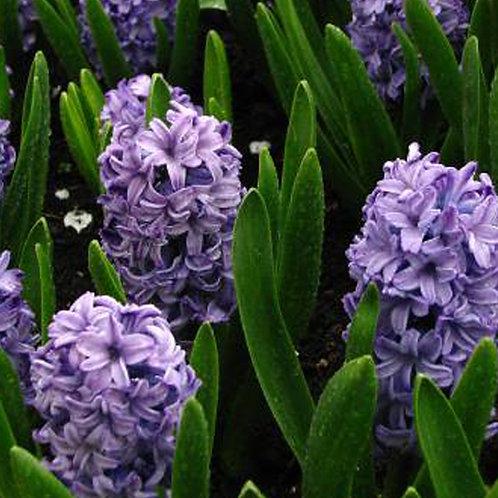 Hyacinth 'Marie'