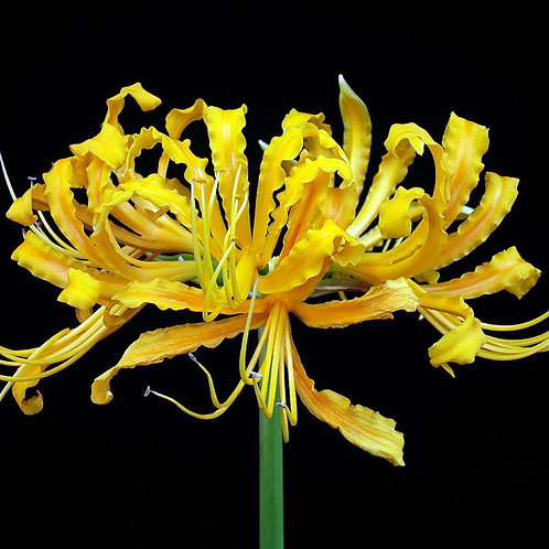 Lycoris africana (aurea) Yellow Spider Lily