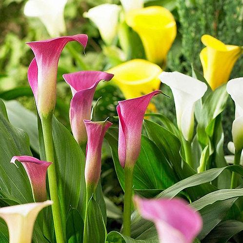 """Zantedeschia, """"Mixed Calla Lilies"""""""
