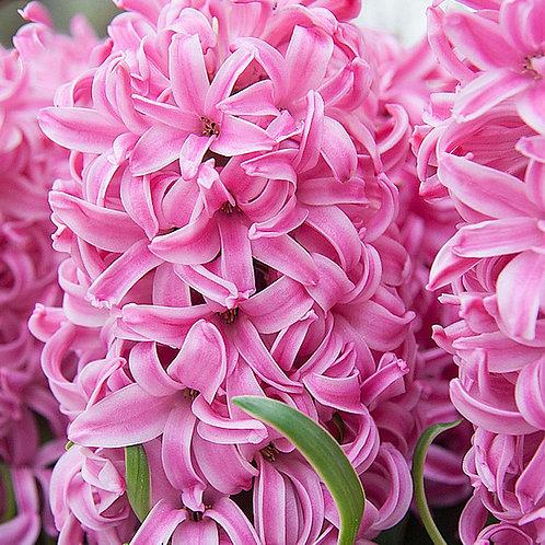 Hyacinth 'Pink Pearl'
